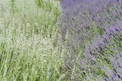 在123农场的淡紫色节日 图库摄影