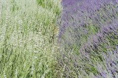 在123农场的淡紫色节日 库存照片