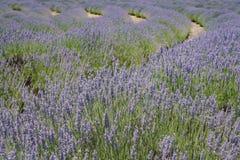 在123农场的淡紫色节日 库存图片