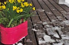 在结冰的一个木大阳台的黄色开花的narcissuses 免版税库存照片