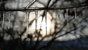 在结冰的树枝的冰柱浇灌滴水日落阳光冬天风景 免版税图库摄影