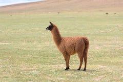 在玻利维亚的altiplano的骆马 库存照片