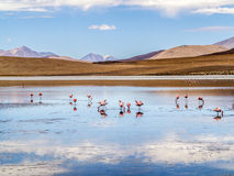 在玻利维亚,爱德华多Avaroa Nationa的狂放的本质的桃红色火鸟 免版税图库摄影
