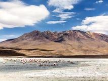 在玻利维亚,爱德华多Avaroa Nationa的狂放的本质的桃红色火鸟 库存图片
