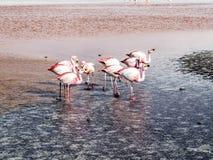 在玻利维亚,爱德华多Avaroa Nationa的狂放的本质的桃红色火鸟 免版税库存照片