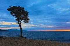 在贝加尔湖含沙海岸的树  俄国 免版税库存照片