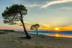 在贝加尔湖岸的两棵杉树  免版税图库摄影