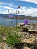 在贝加尔湖岸的花  库存照片