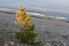 在贝加尔湖石岸的一棵年轻黄绿杉树在春天在日落期间 库存图片