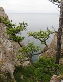 在贝加尔湖背景的雪松 免版税库存图片