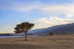 在贝加尔湖风景岸的针叶树云杉在早期的春天在有雾的日落期间的山中 图库摄影