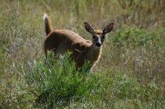 在活动中白尾鹿的小鹿 免版税库存图片