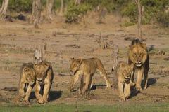 在活动中的狮子自豪感  库存图片
