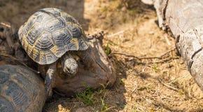 在活动中的草龟 免版税库存照片