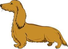 在活动的獾狗对空白背景 库存照片
