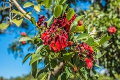 在巴勒莫森林的Ceibo花在布宜诺斯艾利斯 库存图片