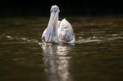 在水南非的鹈鹕 免版税图库摄影
