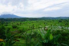 在巴厘岛的米领域 免版税库存照片