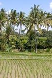 在巴厘岛,印度尼西亚的绿色米领域 免版税库存照片
