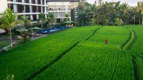 在巴厘岛,印度尼西亚Ubud的稻田  免版税库存照片