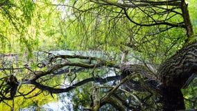 在水反映的老树 库存图片