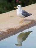 在水反映的聪明的白灰色鸥 库存图片
