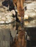 在水反映的Sitatunga头 免版税库存图片