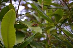 在绿叶的一个大黄蜂 免版税图库摄影