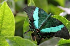 在绿叶的一只绿色蝴蝶 库存照片