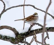 在以后的一只白色红喉刺莺的麻雀最近降雪 库存照片