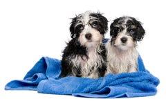在浴以后的两只逗人喜爱的havanese小狗坐一块蓝色毛巾 免版税库存照片