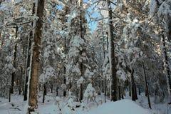 在以后的冬天taiga降雪 西伯利亚 免版税库存图片