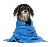 在浴以后的湿havanese小狗在一块蓝色毛巾穿戴 库存图片