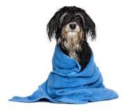 在浴以后的湿havanese小狗在一块蓝色毛巾穿戴 库存照片