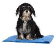 在浴以后的湿havanese小狗坐一块蓝色毛巾 库存图片