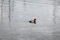 在水和鸭子的波纹 洛桑,瑞士 免版税库存图片