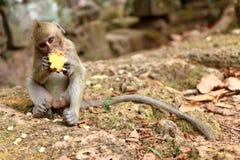 在吴哥站点,柬埔寨的猴子 库存照片
