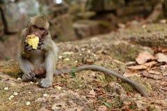 在吴哥站点,柬埔寨的猴子 免版税库存照片