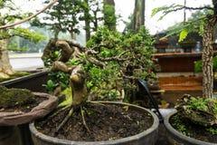 在黏土出售做的罐的盆景树在植物在雅加达拍的卖主照片印度尼西亚 免版税库存图片
