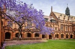 在2015年在绽放的兰花楹属植物在悉尼大学 免版税库存图片