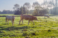在满地露水的草的三头母牛 库存图片