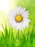 在满地露水的草的雏菊花 库存照片