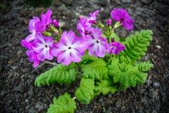 在黑地面的新鲜的春天花 报春花开花 免版税库存图片