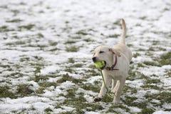 在围场戏剧的拉布拉多猎犬小狗在冬天 免版税库存图片