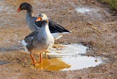 在水坑的两灰雁 免版税库存图片