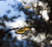 在水坑的几片秋季叶子与天空反射 免版税库存图片