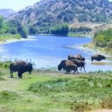 在水坑的北美野牛 库存照片