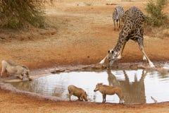 在水坑的各种各样的动物 免版税库存照片