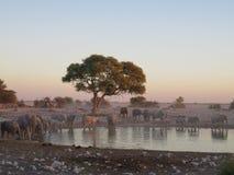 在水坑的大大象牧群在埃托沙国家公园,纳米比亚,非洲 免版税库存照片