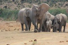 在水坑的大象家庭 免版税库存图片